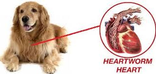 "Dr. Monfort Says ""Heartworms are getting into our pockets (and our dog's heart…literally)!"""