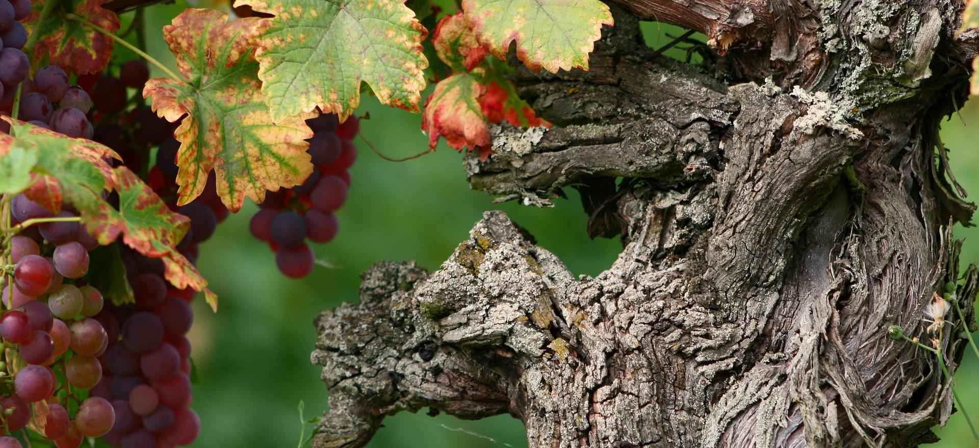 Les vins Alsaciens