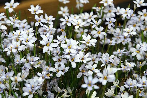 Sisyrinchium Suwannee. Common name - Blue-eyed grasses.