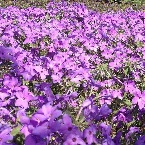 Creeping Phlox - Sherwood Purple