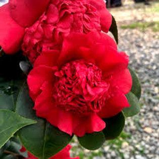 Camellia - Professor Sargent