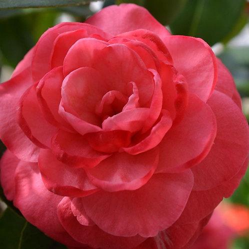 Camellia - Rosea Plena