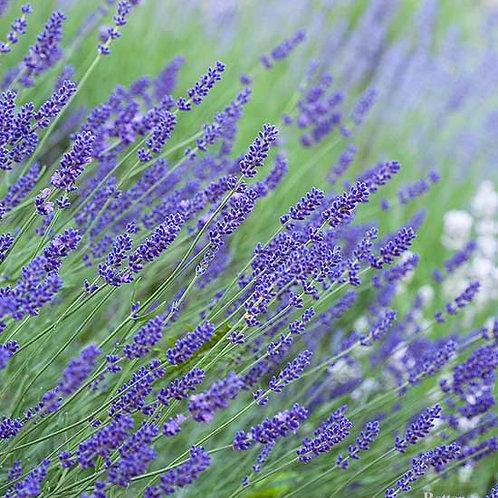 Lavender - sensational