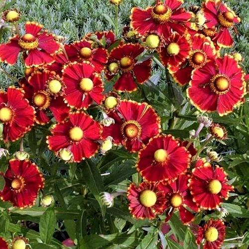 Helenium - Helena Red Shades
