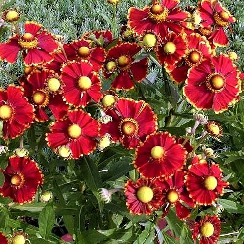 Helenium - Helena Red Shades