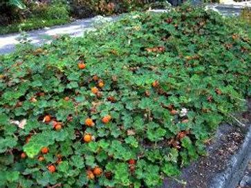 Rubus Calcynoides