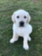 AKC Labrador Retrievers for Sale