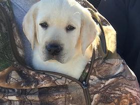 AKC Labrador Retrievers for Sale