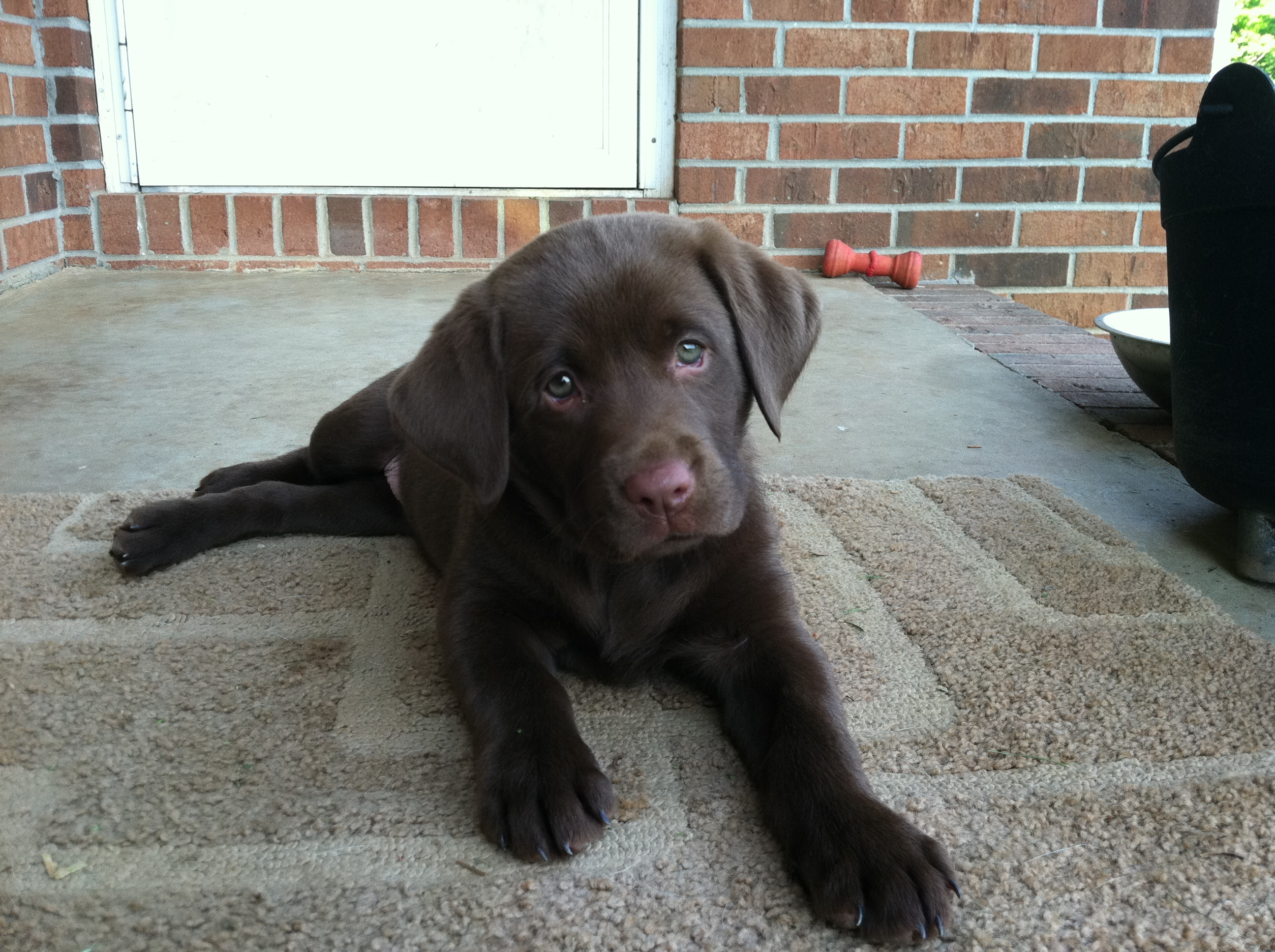 Abby as a pup