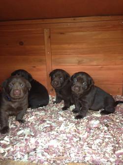 Lab Puppies - Hillside Farm