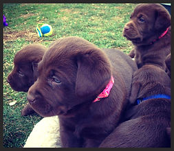Lab Puppies For Sale Virginia