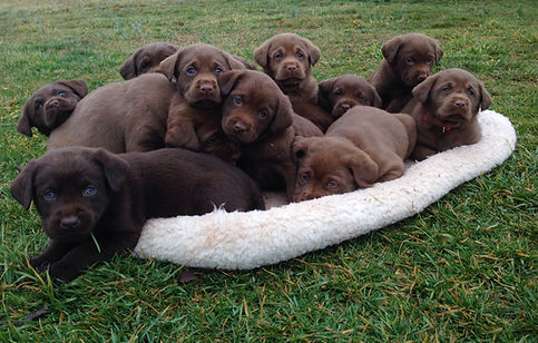 AKC Labrador Retriever Puppies for Sale