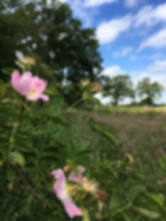 Roses in the hedgerow just before haymaking