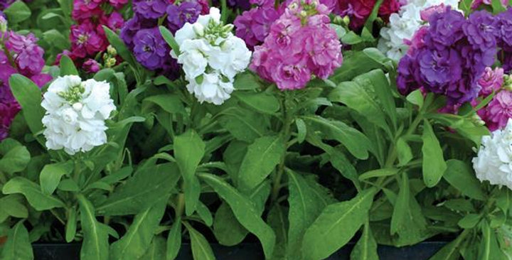 Stocks-Matthiola F1 Hot Cakes Mix Hybrid