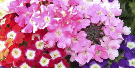 Verbena Ideal Florist Mix-NM