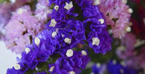 Static Pacific Mix (Limonium)-NM