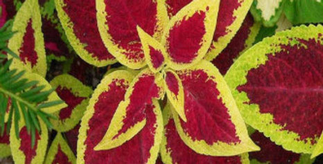 Coleus blumei Rainbow Mix NM