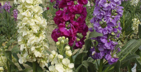 Stocks - Matthiola incana Mixed
