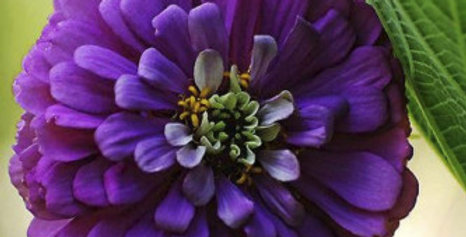 Zinnia elegans Purple