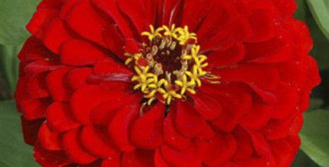 Zinnia elegans Scarlet Flame