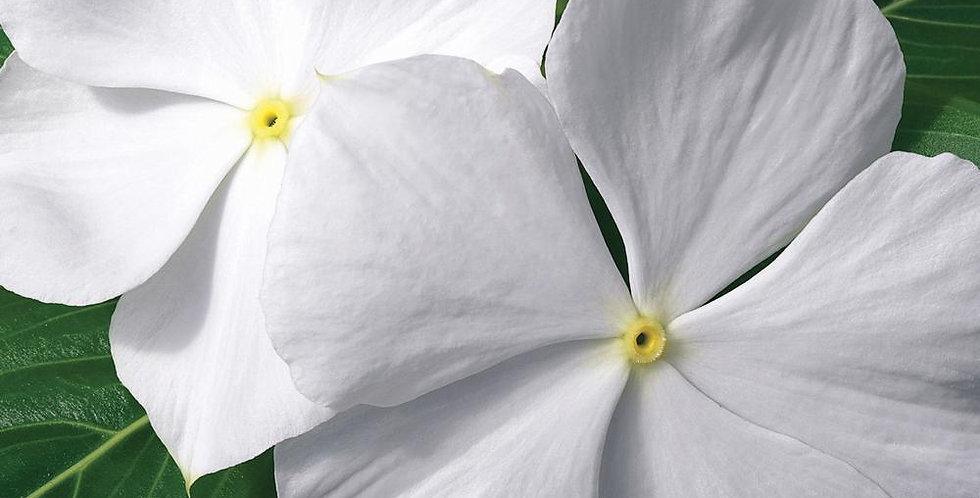 Vinca rosea Nana Little White Dwarf