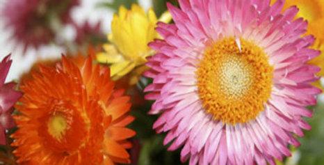 Paper Flower Mix (Helichrysum) NM