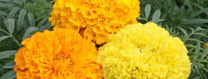 African Marigold Mixed