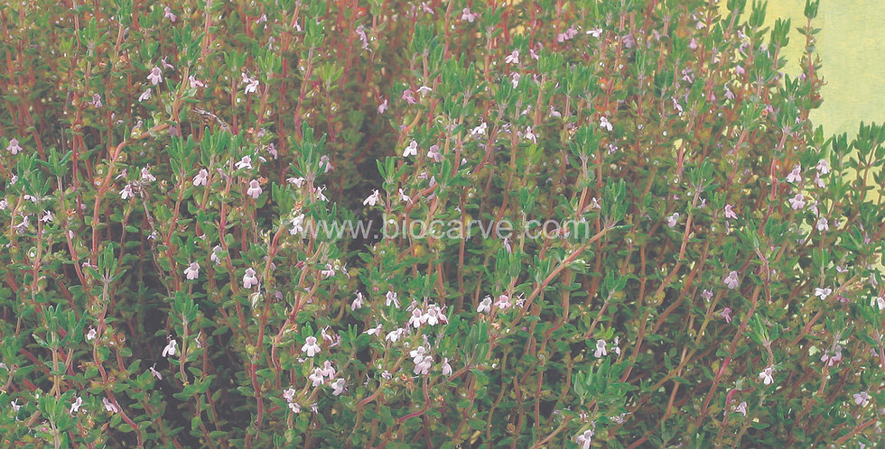 Herb Thyme English Winter
