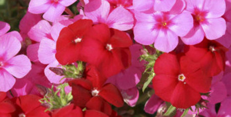 Phlox Beauty Mix