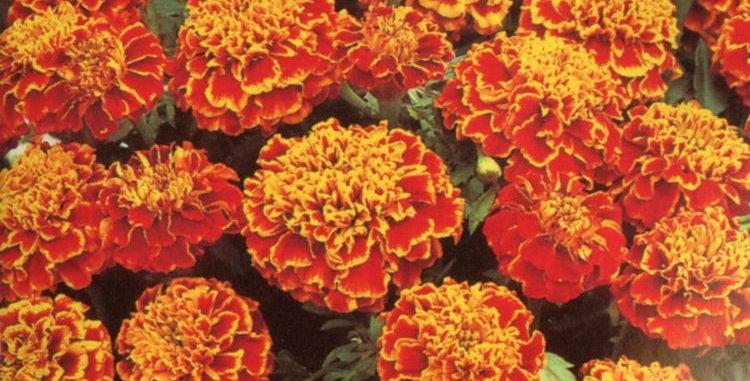 Marigold F1 Honeycomb Hybrid