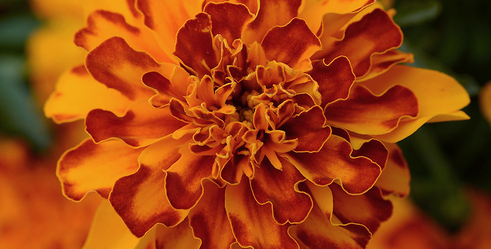 Marigold French Bonanza F1 Mix Hybrid
