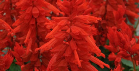 Salvia splendens Saint John's Fire NM