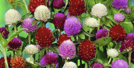 Gomphrena Choice Mix