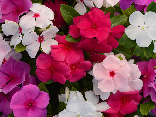 How to Germinate Vinca