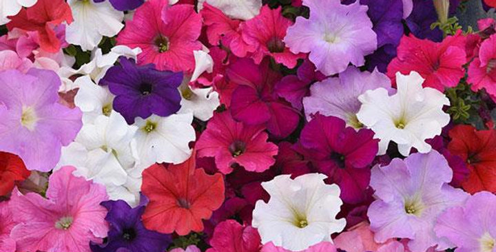 Petunia Supercascade F1 Mixed Hybrid