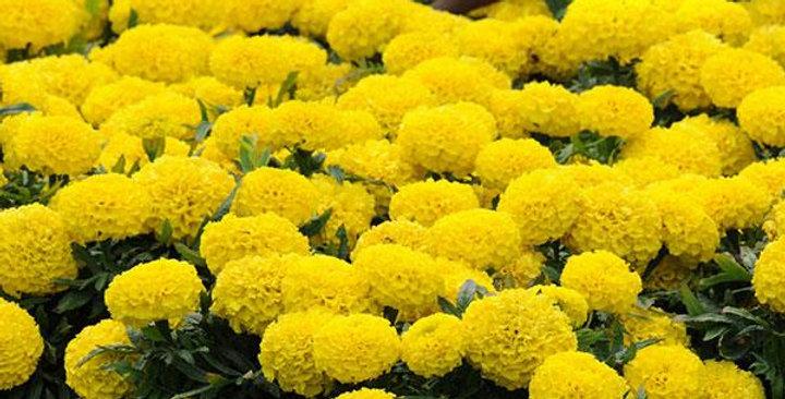 Marigold F1 Taishan Yellow Hybrid