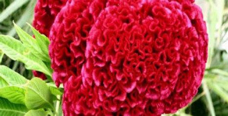Celosia cristata Cock's Comb