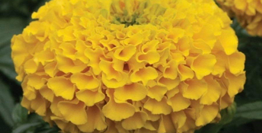 African Marigold F2 Yellow