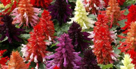 Salvia splendens F1 Mixed