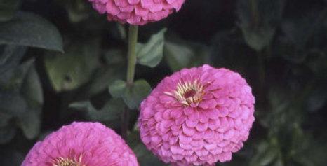 Zinnia elegance Dahlia Flowered Illumination-NM