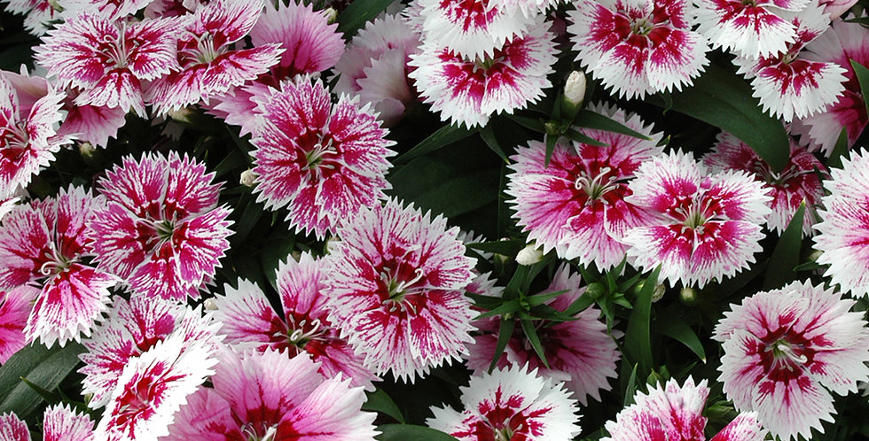 Dianthus F1 Ideal Select Hybrid