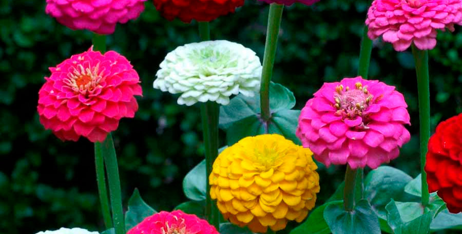 Zinnia Lilliput Mix- NM