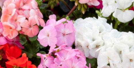 Geranium Mix (Pelargonium colorama) NM