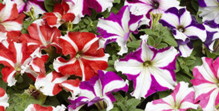 Petunia Dwarf Stars Mix NM