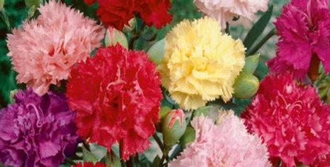 Carnation Mix (Dianthus caryophilous chaubaud) NM