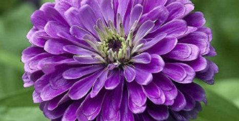 Zinnia elegance Dahlia Flowered Royal Purple-NM