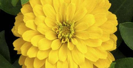Zinnia elegance Dahlia Flowered Canary Bird Yellow-NM