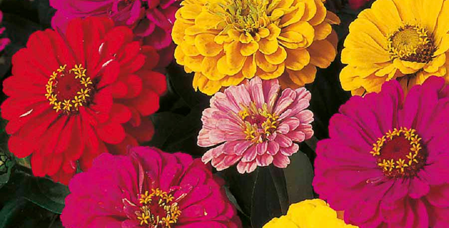 Zinnia elegance Dahlia Flowered Mix-NM