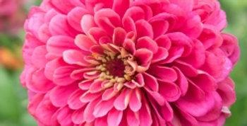 Zinnia elegans Illumination Deep Rose