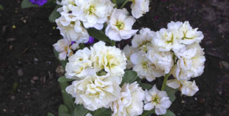 Stocks Double Dwarf (Matthiola Ten Week Mix)-NM